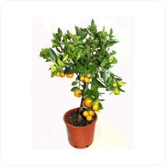 Купить Цитрусовые Цитрофортунелла каламондин в СПб с доставкой