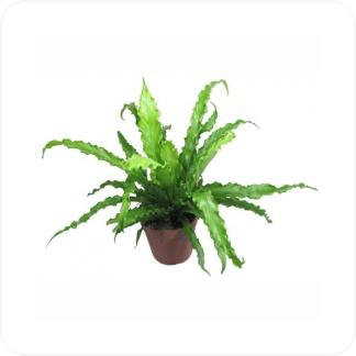 Купить Декоративно-лиственные растения Асплениум (Костенец) Антикум Осака в СПб с доставкой
