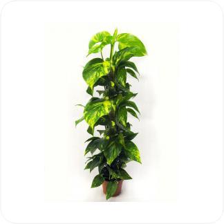 Купить Вьющиеся и ампельные растения Эпипремнум на опоре в СПб с доставкой
