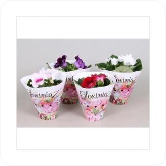 Купить Цветущие растения Синнингия Микс в СПб с доставкой