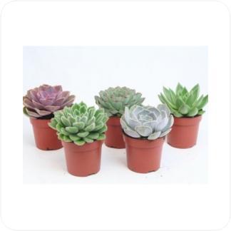 Купить Суккуленты и кактусы Эхеверия в СПб с доставкой