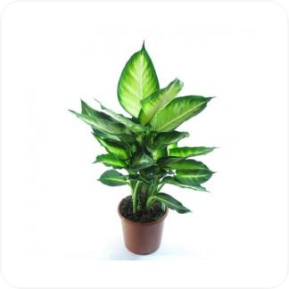 Купить Декоративно-лиственные растения Диффенбахия Вайт Флейм в СПб с доставкой
