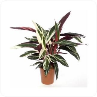 Купить Декоративно-лиственные растения Строманта Триостар в СПб с доставкой