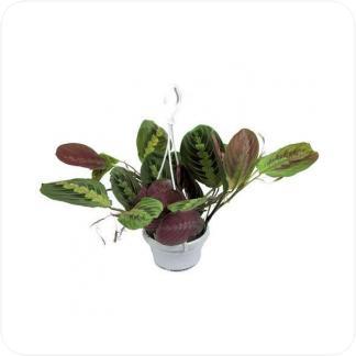 Купить Вьющиеся и ампельные растения Маранта фасцинатор триколор подвесная в СПб с доставкой