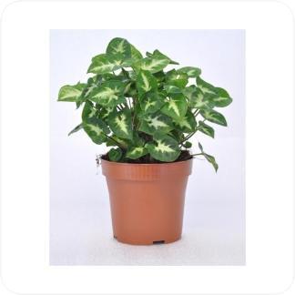 Купить Декоративно-лиственные растения Сингониум Пикси в СПб с доставкой