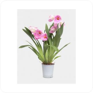 Купить Орхидеи Мильтония в СПб с доставкой