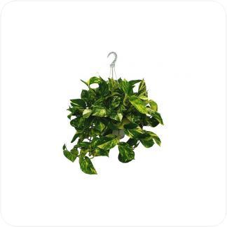 Купить Вьющиеся и ампельные растения Эпипремнум ауреум подвесной в СПб с доставкой