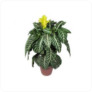 Купить Цветущие растения Афеляндра Скуарроса Дания в СПб с доставкой