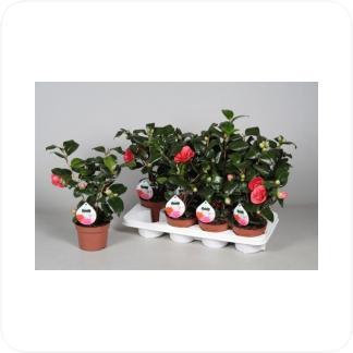 Купить Цветущие растения Камелия японская Леди Кэмпбелл в СПб с доставкой