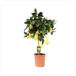 Купить Цитрусовые Лимонное дерево в СПб с доставкой