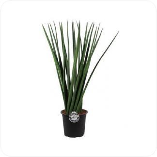 Купить Суккуленты и кактусы Сансевиерия цилиндрика спагетти в СПб с доставкой