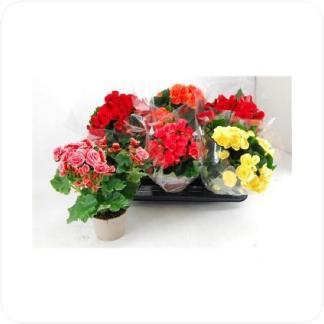 Купить Цветущие растения Бегония Микс в СПб с доставкой