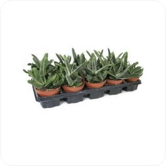 Купить Суккуленты и кактусы Гастерия в СПб с доставкой