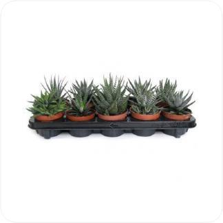 Купить Суккуленты и кактусы Хавортия микс в СПб с доставкой