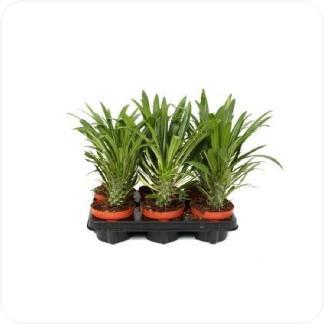 Купить Суккуленты и кактусы Пахиподиум Ламера в СПб с доставкой