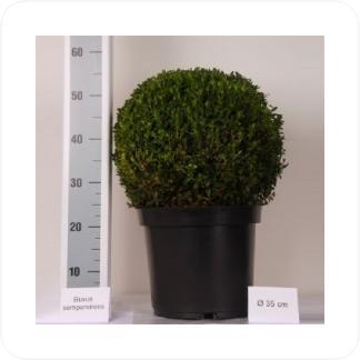 Купить Декоративно-лиственные растения Самшит шар (Буксус) в СПб с доставкой
