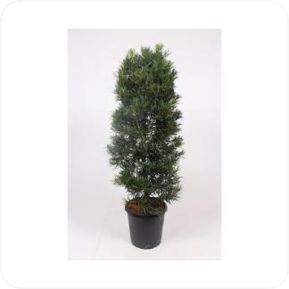 Купить Декоративно-лиственные растения Подокарпус Крупнолистный (Podocarpus Macrophyllus) в СПб с доставкой