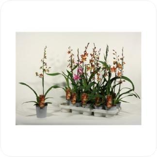 Купить Орхидеи Камбрия 1 ствол в СПб с доставкой