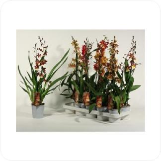 Купить Орхидеи Камбрия 2 ствола в СПб с доставкой