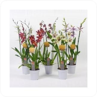 Купить Орхидеи Камбрия 3 ствола в СПб с доставкой