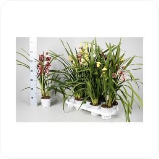 Купить Орхидеи Цимбидиум 1 ствол в СПб с доставкой