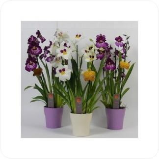 Купить Орхидеи Мильтония 3 цветоносца в СПб с доставкой