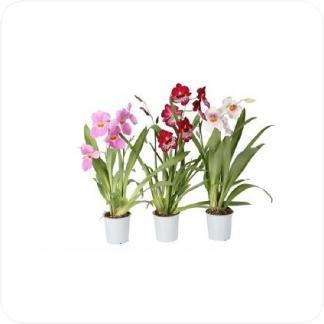 Купить Орхидеи Мильтония 2 цветоносца в СПб с доставкой