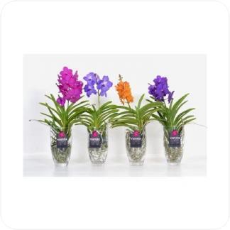 Купить Орхидеи Ванда в стекле в СПб с доставкой
