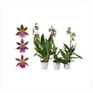 Купить Орхидеи Зигопеталум 2 цветоноса в СПб с доставкой