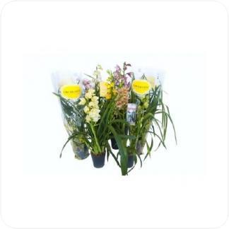 Купить Орхидеи Цимбидиум 2 стволa в СПб с доставкой