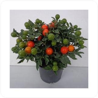 Купить Декоративно-лиственные растения Соланум Мегабол в СПб с доставкой