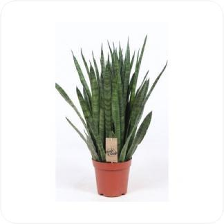 Купить Суккуленты и кактусы Сансевиерия Кирки в СПб с доставкой