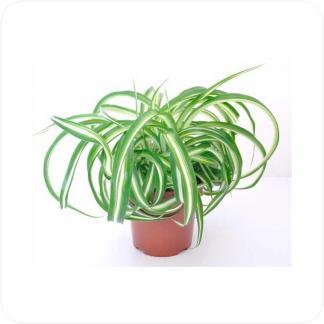 Купить Декоративно-лиственные растения Хлорофитум Бонни в СПб с доставкой