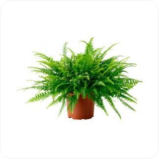 Купить Декоративно-лиственные растения Нефролепис Грин Леди в СПб с доставкой
