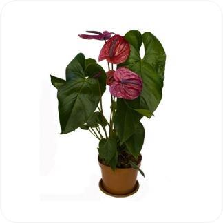 Купить Цветущие растения Антуриум Андрианум фиолетовый в СПб с доставкой