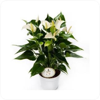 Купить Цветущие растения Антуриум Андрианум белый в СПб с доставкой