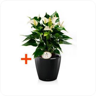 Купить Готовая продукция - растения в кашпо Антуриум Андрианум белый + Кашпо Lechuza Classico LS 21 в СПб с доставкой