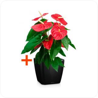 Купить Готовая продукция - растения в кашпо Антуриум Андрианум красный + Кашпо Lechuza Quadro LS 21 в СПб с доставкой