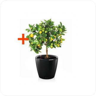 Купить Готовая продукция - растения в кашпо Лимонное дерево + Кашпо Lechuza Classico LS 28 в СПб с доставкой