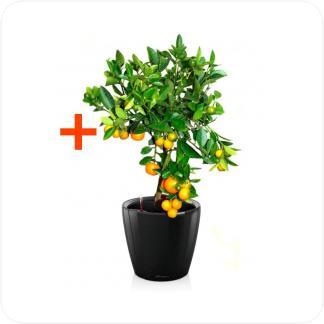 Купить Готовая продукция - растения в кашпо Цитрофортунелла Каламондин + Кашпо Lechuza Classico LS 21 в СПб с доставкой