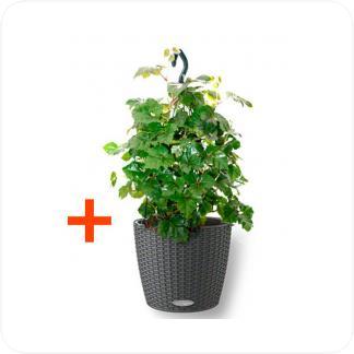 Купить Готовая продукция - растения в кашпо Циссус Мандиана подвесная + Кашпо Lechuza Nido Cottage в СПб с доставкой