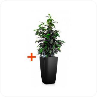Купить Готовая продукция - растения в кашпо Фикус Бенджамина Даниэль + Кашпо Lechuza Cubico 30 в СПб с доставкой