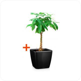 Купить Готовая продукция - растения в кашпо Пахира Акватика + Кашпо Lechuza Quadro LS 43 в СПб с доставкой