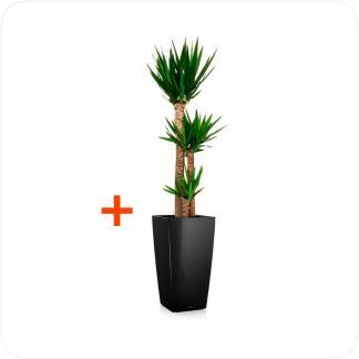 Купить Готовая продукция - растения в кашпо Юкка 3 ствола + Кашпо Lechuza Cubico 30 в СПб с доставкой