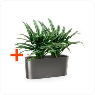 Купить Готовая продукция - растения в кашпо Аглаонема Катлас 2 штуки + Кашпо Lechuza Delta 20 в СПб с доставкой