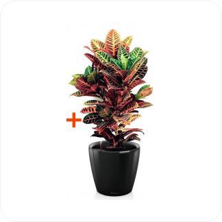Купить Готовая продукция - растения в кашпо Кодиеум Петра + Кашпо Lechuza Classico LS 43 в СПб с доставкой