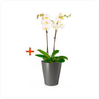 Купить Готовая продукция - растения в кашпо Фаленопсис 2 ствола + Кашпо Lechuza Deltini 14 в СПб с доставкой
