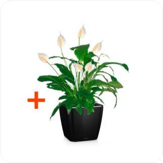 Купить Готовая продукция - растения в кашпо Спатифиллум (2 шт.) + Кашпо Lechuza Quadro LS 21 в СПб с доставкой