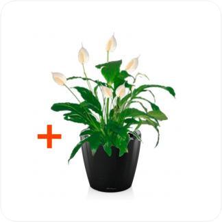 Купить Готовая продукция - растения в кашпо Спатифиллум + Кашпо Lechuza Classico LS 21 в СПб с доставкой