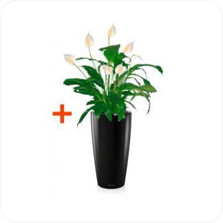Купить Готовая продукция - растения в кашпо Спатифиллум + Кашпо Lechuza Rondo 32 в СПб с доставкой